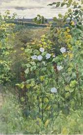 Cichorium. 1894