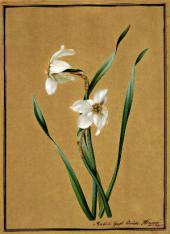 Fyodor TOLSTOY. Narcissi. 1817